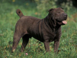 Black Shar Pei Standing in Grass