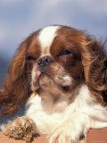 King Charles Cavalier Spaniel Adult Portrait