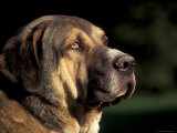 Spanish Mastiff Portrait
