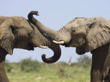 African Elephant  Bulls Sparring with Trunks  Etosha National Park  Namibia