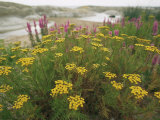 Common Tansy in Flower  Sweden