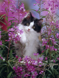 Domestic Cat  Black Bicolour Persian-Cross Kitten Among Rosebay Willowherb
