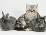 Blue-Silver Exotic Shorthair Kitten with Baby Silver Lionhead Rabbits