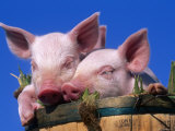 Domestic Piglets  in Bucket  USA