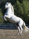 Grey Andalusian Stallion Rearing on Hind Legs  Ojai  California  USA