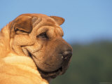 Shar Pei Looking Back