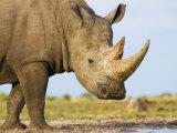 White Rhinoceros  Etosha National Park  Namibia