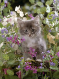 Domestic Cat  7-Week  Fluffy Grey Male Kitten Among Flowers
