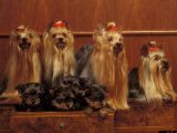 Domestic Dogs  Four Yorkshire Terriers with Four Puppies in a Drawer