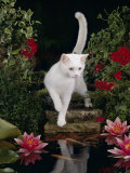 White Domestic Cat Watching Goldfish in Garden Pond