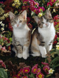 Tabby-Tortoiseshell-And White Kittens  11-Week Sisters  Among Pink and Yellow Primroses