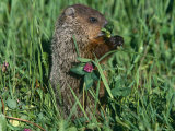 Woodchuck  Feeding  Minnesota  USA