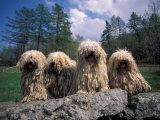 Domestic Dogs  Four Pulik / Hungarian Water Dogs Sitting Together on a Rock