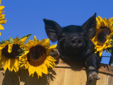 Domestic Piglet  Amongst Sunflowers  USA