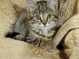 Domestic Cat  Female Tabby Kitten on Chair