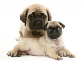 Fawn Pug Puppy with Fawn English Mastiff Puppy