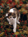 Domestic Cat  Young Tortoiseshell-And-White Among Cotoneaster Berries and Ground Elder Seedheads