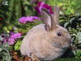 Mini Rex Rabbit  USA