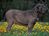 Black Neopolitan Mastiff Standing in Show Stack / Pose in Field