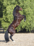 Bay Azteca (Half Andalusian Half Quarter Horse) Stallion Rearing on Hind Legs  Ojai  California