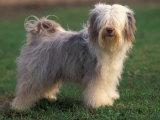 Tibetan Terrier Standing on Grass