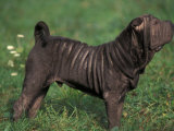 Black Shar Pei Standing in Show Stack / Pose