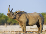 Black Rhinoceros  Flehmen Response  Etosha National Park  Namibia