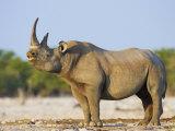Black Rhinoceros  Flehmen Response  Etosha National Park  Namibia