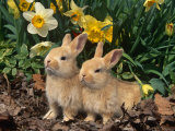Two Young Palamino Domestic Rabbits  USA