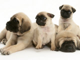 Fawn Pug Pups with Fawn English Mastiff Puppies