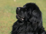 Black Newfoundland Looking Up