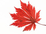 Japanese Maple Leaf in Autumn Colours