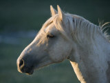 Wild Palomino Stallion  Head Profile  Pryor Mountains  Montana  USA