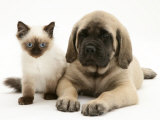 English Mastiff Puppy with Young Birman-Cross Cat