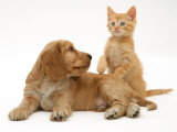 Ginger Kitten with Golden Cocker Spaniel Puppy