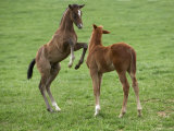 Two Thoroughbred Colt Foals  Playing  Virgina