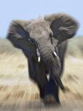 African Elephant  Charging Abstract  Etosha National Park  Namibia