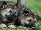 Norwegian Elkhound Puppies Lying in Grass