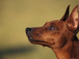 Miniature Pinscher Looking Up