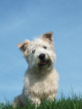 Head Portrait of Irish Glen of Imaal Terrier Dog