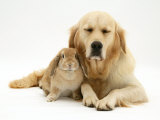 Sandy Lop Rabbit Cuddling up with Sleepy Golden Retriever Bitch