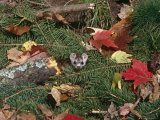 Stoat  Amongst Leaf Litter  USA
