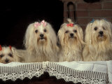 Four Maltese Dogs Sitting Together with One Lying Down