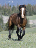 Wild Horse  Bay Stallion Cantering Portrait  Pryor Mountains  Montana  USA