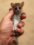 Russet Mouse Lemur  Held in Hand to Show Small Size  Kirindy  Madagascar