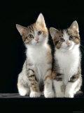 Domestic Cat  Two 8-Week Tabby Tortoiseshell and White Kittens