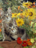 10-Week  Short-Haired Ticked Tabby Kittens with Nasturtiums  Montbretia and Yellow Daisies