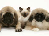 Pekingese and English Mastiff Puppies with Birman-Cross Kitten