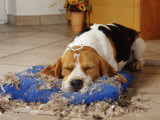 Beagle with Destroyed Pillow