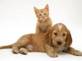 Ginger Kitten Climbing Ontop of Golden Cocker Spaniel Puppy